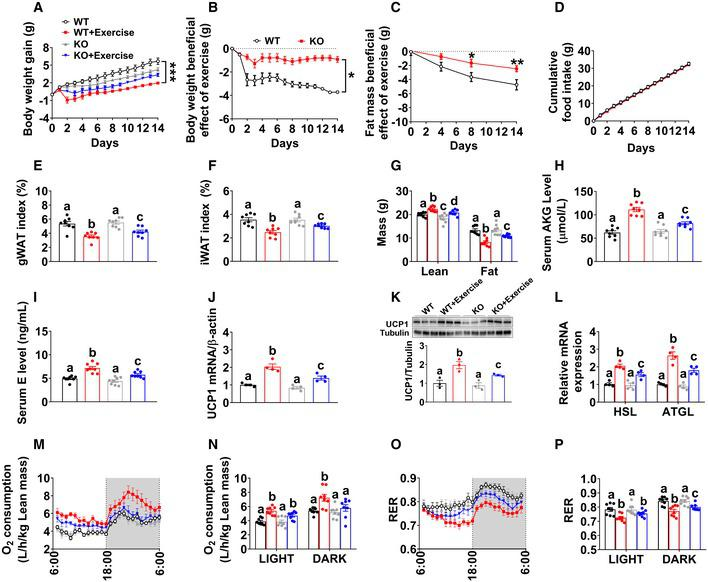 OXGR1 is required for metabolic beneficial effects of resistance exercise Body weight gain in male WT littermates and OXGR1KO mice. At 8 weeks of age, male C57BL/6 WT control or OXGR1KO mice were switched to HFD. After 12 weeks of HFD feeding, mice were further divided into two groups receiving non‐exercise or resistance exercise for 14 days ( n = 8 per group). Exercise‐induced body weight loss in male WT littermates and OXGR1KO mice. Body weights from exercise mice were subtracted by the average body weight of the non‐exercise control group for each genotype ( n = 8 per group). Exercise‐induced fat mass loss in male WT littermates and OXGR1KO mice. Fat mass from exercise mice was subtracted by the average fat mass of the non‐exercise control group for each genotype ( n = 8 per group). Cumulative food intake of male WT littermates and OXGR1KO mice after 14‐day resistance exercise ( n = 8 per group). Weight index of gWAT (E) and iWAT (F) of male OXGR1KO mice after 14‐day resistance exercise ( n = 8 per group). Body composition of male OXGR1KO mice after 14‐day resistance exercise ( n = 8 per group). Serum AKG levels of male WT and OXGR1KO mice after resistance exercise. Male WT and OXGR1KO mice (10 weeks old) fed with normal chow were receiving resistance exercise for 40 min ( n = 8 per group). The serum AKG levels were tested before and immediately after exercise. Serum E level in male OXGR1KO mice after 14‐day resistance exercise ( n = 8 per group). The mRNA expression (J) and protein expression of UCP1 (K) in the BAT or the mRNA expression of HSL and ATGL (L) in the gWAT of male OXGR1KO mice after 14‐day resistance exercise ( n = 4 per group). Oxygen consumption (M, N) and RER (O, P) in male OXGR1KO mice after 14‐day resistance exercise ( n = 8 per group). Data information: Results are presented as mean ± SEM. In (A–D) * P ≤ 0.05 and ** P ≤ 0.01 by two‐way ANOVA followed by post hoc Bonferroni tests. In (E–L, N and P), different letters between bars indicate P ≤ 0