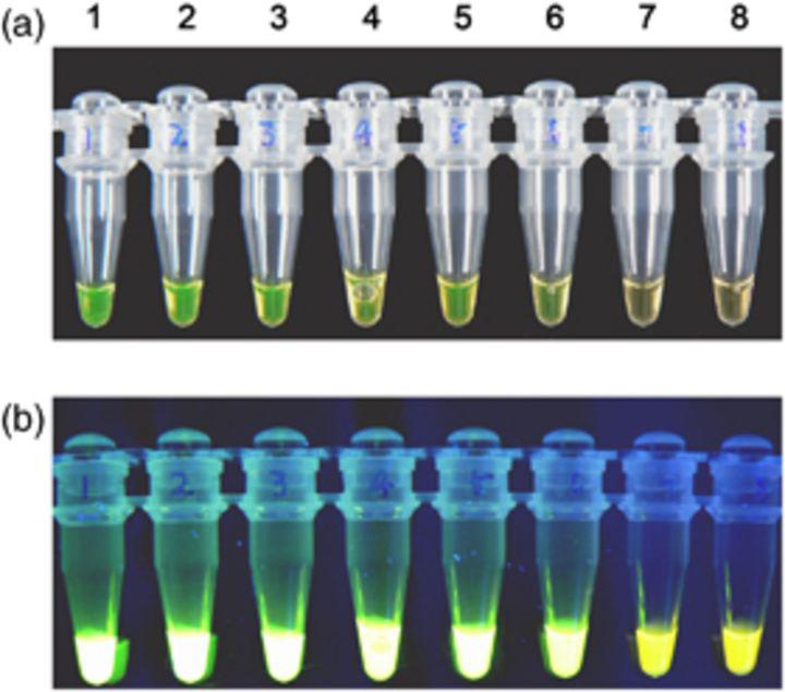 Visual sensitivity of LAMP reactions using SYBR Green I. (a) Direct detection by the naked eye, (b) under UV transillumination. Tubes 1–7, 2 × 10 5 , 2 × 10 4 , 2 × 10 3 , 2 × 10 2 , 2 × 10 1 , 2 × 10 0 , 2 × 10 −1 copies per tube, respectively; tube 8, negative control without DNA.