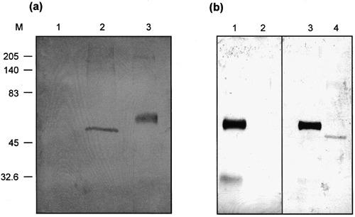 (a) Western blotting analysis of fractions from day 0 (track 1) and day 2 (track 2) faecal samples of calf 1424 purified by CsCl centrifugation stained with the post‐inoculation NA1 serum. A mean of 130.5 NA1 particles per field were present by SPIEM in the fraction from the day 2 sample; no particles were detected in the fraction from the day 0 sample. Track 3: bovine IgG as a control for electroblotting and immunostaining. M, molecular mass markers (kDa). (b) Western blotting analysis of fractions from the day 2 faecal sample of calf 1424 stained with the pre‐ (track 2) and the post‐inoculation NA1 serum (track 4). Tracks 1 and 3: bovine IgG as a control for electroblotting and immunostaining. M, molecular mass markers (kDa).