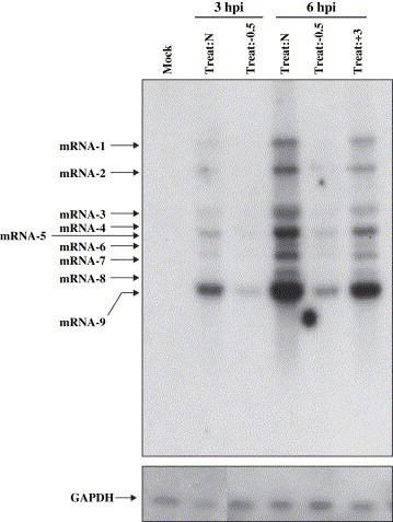Reduction of viral mRNA levels by MβCD treatment. Vero E6 cells were left untreated (Treat:N) or were pretreated with 10 mM MβCD for 30 min at 37 °C (Treat:−0.5), and then infected with SARS-CoV at an MOI of 10. Alternatively, cells were first infected with SARS-CoV, as described above, and then treated with MβCD for 30 min at 37 °C at 3 hpi (Treat:+3). After culturing for 3 and 6 h, respectively, total RNAs were extracted and subjected to Northern blot analysis with a DNA probe for the SARS-CoV N gene. As a control for <t>RNA</t> input, the same amounts of the RNA samples were subjected to Northern blot analysis for <t>GAPDH</t> gene expression.