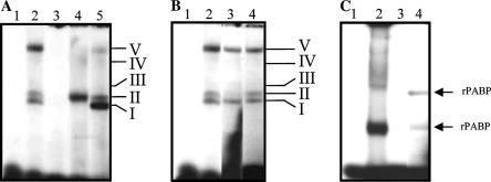 Specificity of RNA–protein complexes formed with the complete 3 ′ UTR and the 3 ′ UTR(A) of NV with S10 extract from HeLa cells. (A) [α- 32 P]ATP labeled 3 ′ UTR(A) RNA was incubated with 10 μg of S10 extract from HeLa cells in the absence (lanes 1 and 2) or presence of 25-fold molar excess of unlabeled homologous (lane 3), heterologous (lane 4), and non-related heterologous competitors (lane 5). (B) Ten micrograms of S10 extract from HeLa cells was incubated in the absence (lanes 1 and 2) or in the presence of 1.5 μl of polyclonal antibodies to human PAB protein (lane 3) or an anti-GADPH antibody (lane 4) before the addition of [α- 32 P]ATP labeled 3 ′ UTR(A) RNA. The antibody–RNA–protein supercomplex was further processed under the same conditions described for the RNA–protein complex. (C) [α- 32 P]ATP labeled 3 ′ UTR RNA (lane 2) or 3 ′ UTR(A) (lanes 1 and 3) was incubated in the absence (lane 1) or presence of 100 ng of recombinant PAB protein (lanes 2 and 3) followed by RNase treatment. Complex formation was assayed by electrophoresis on native polyacrylamide gels and detected by autoradiography. Free RNA was loaded on lane 1. Mobility of complexes formed with S10 HeLa cell extract and with the rPABP is indicated on the right-hand side of the figure.