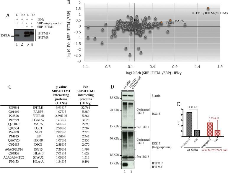 Identification of IFITM1 interacting proteins in IFNγ treated cells. (A). SBP vector or SBP-tagged IFITM1 were transfected into parental SiHa cells and treated with IFNγ. Cells were lysed (L) and subjected to immunoprecipitation (PD) and evaluated by immunoblotting with Mab-MHK that can detect untagged or SBP-tagged IFITM1. (B). A 4-quadrant plot showing the relative quantification for binding proteins corresponding to fold change of cells transfected with SBP-IFITM1 versus SBP-empty vector and affinity purified with IFN-γ for 24 h (X-axis) or without IFN-γ stimulation (Y-axis). (C). Table with selected binding proteins detected by mass spectrometry for SBP-IFITM1 enrichment without or with IFN-γ stimulation (from Supplementary Table 3). (D). Cells (parental SiHa; lane 1; or IFITM1/IFITM3 double null (lane 2) were transfected with empty vector (as in 8A) and treated with IFNγ. Samples were processed by immunoblotting with antibodies to ISG15. Free, monomeric ISG15 protein is highlighted, as well as conjugated ISG15. Free ISG15 protein is expressed at similar levels in both cells whilst conjugated ISG15 is attenuated in the IFITM1/IFITM3 double null cell (lane 2 vs 1). This suggests that ISG15ylation protein synthesis is linked to covalent conjugation under these conditions, under conditions where attenuated ISG15 protein synthesis was observed using pulse SILAC ( Fig. 5 ). Antibodies to β-actin and IFITM1/3 proteins were used as loading controls, as indicated. (E). Free and conjugated ISG15 were quantified using ImageJ software. The relative units (in A.U.) define expression as a function of free or conjugated ISG15 in parental and IFITM1/IFITM3 double null cells. The relative change in ISG15 conjugation over free ISG15 was 5.58 A.U. in parental cells. The relative change in ISG15 conjugation over free ISG15 was 3.63 A.U. in IFITM1/3 double null cells.