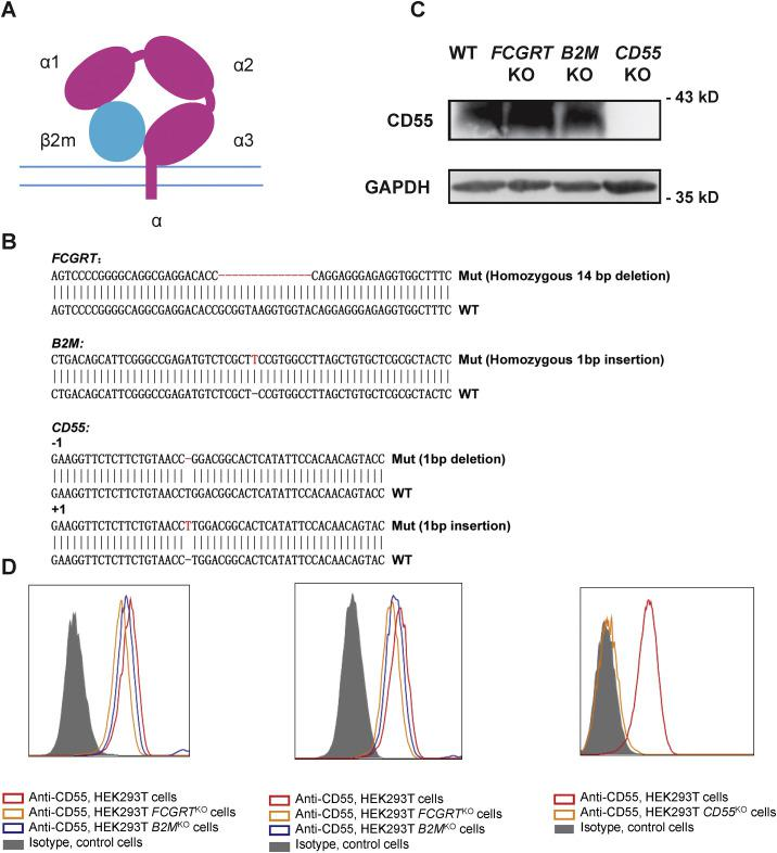 FCGRT or B2M KO Has No Effect on CD55 Expression, Related to Figure 1 (A) Diagram of FcRn. The α chain expressed by FCGRT contains a transmembrane domain and three extracellular domains (α1, α2 and α3). The β2 m chain is expressed by B2M . (B) Sanger sequencing of FCGRT, B2M and CD55 in KO cells. Sequencing data shows an alignment of WT sequence with the KO sequence. (C) western blot of CD55 expression in WT, FCGRT KO , B2M KO and CD55 KO cells. (D) Flow cytometry analysis of CD55 expression in WT, FCGRT KO , B2M KO (left panel: fixed cell staining, middle panel: cell surface expression) and CD55 KO cells (right panel).