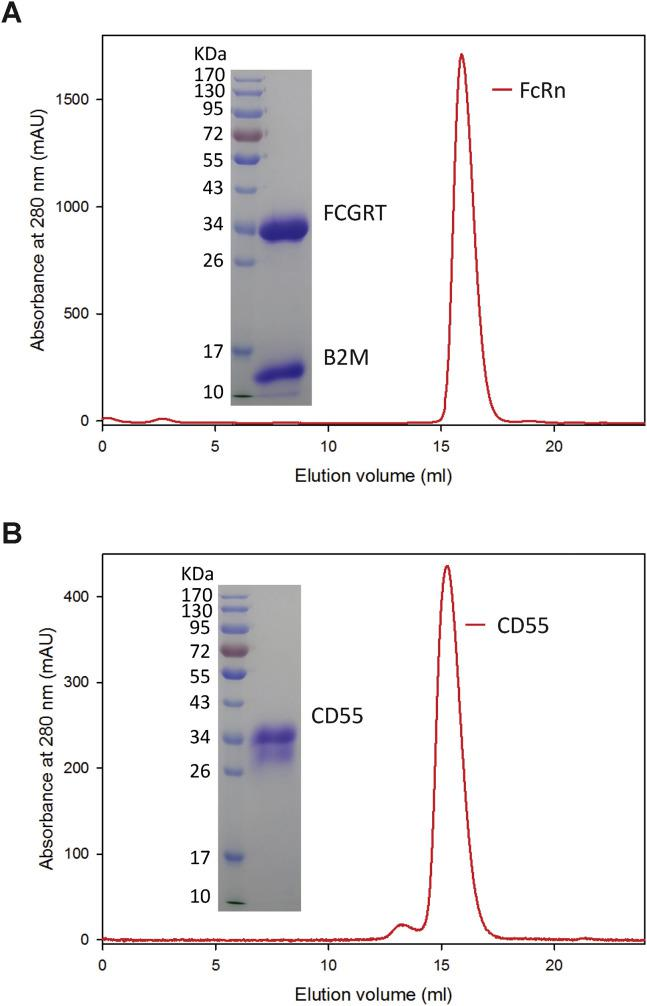 FcRn and CD55 Soluble Protein Expression and Purification, Related to Figure 3 (A) FcRn soluble protein was expressed by co-transfection of constructs encoding the FCGRT extracellular domain and B2M in HEK293T cells. The protein was eluted as a single peak from gel filtration on Superdex 200 column (GE Healthcare), and two bands showing FCGRT and B2M were evident by SDS-PAGE. (B) Gel filtration and SDS-PAGE of CD55 soluble protein purification.