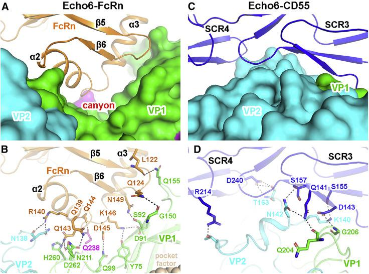 """Molecular Interactions between Echo 6 Virus and FcRn/CD55 Receptors (A) The atomic model of Echo 6-FcRn in the main contacting interface. The viral proteins are shown in surface models, and the receptor is represented as ribbon model. VP1, VP2, and VP3 of Echo 6 are shown in green, cyan, and magenta, respectively. The interacting FCGRT subunit of FcRn is colored in orange. The """"canyon"""" is indicated by a red asterisk. (B) The interaction details between Echo 6 virus and FcRn receptor. The proteins are colored by chains as in (A), and the contacting residues are shown as sticks and colored by elements. Hydrogen bonds are represented by black dashed lines. (C) The atomic model of the Echo 6-CD55 in the main contacting interface. The viral proteins (colored by chains) are shown in surface models, and CD55 (blue) is represented as ribbons. The interaction is mainly mediated by the SCR3 and SCR4 domains. (D) The interaction details between Echo 6 virus and CD55 in the same style of FcRn in (B). See also Figure S7 ."""