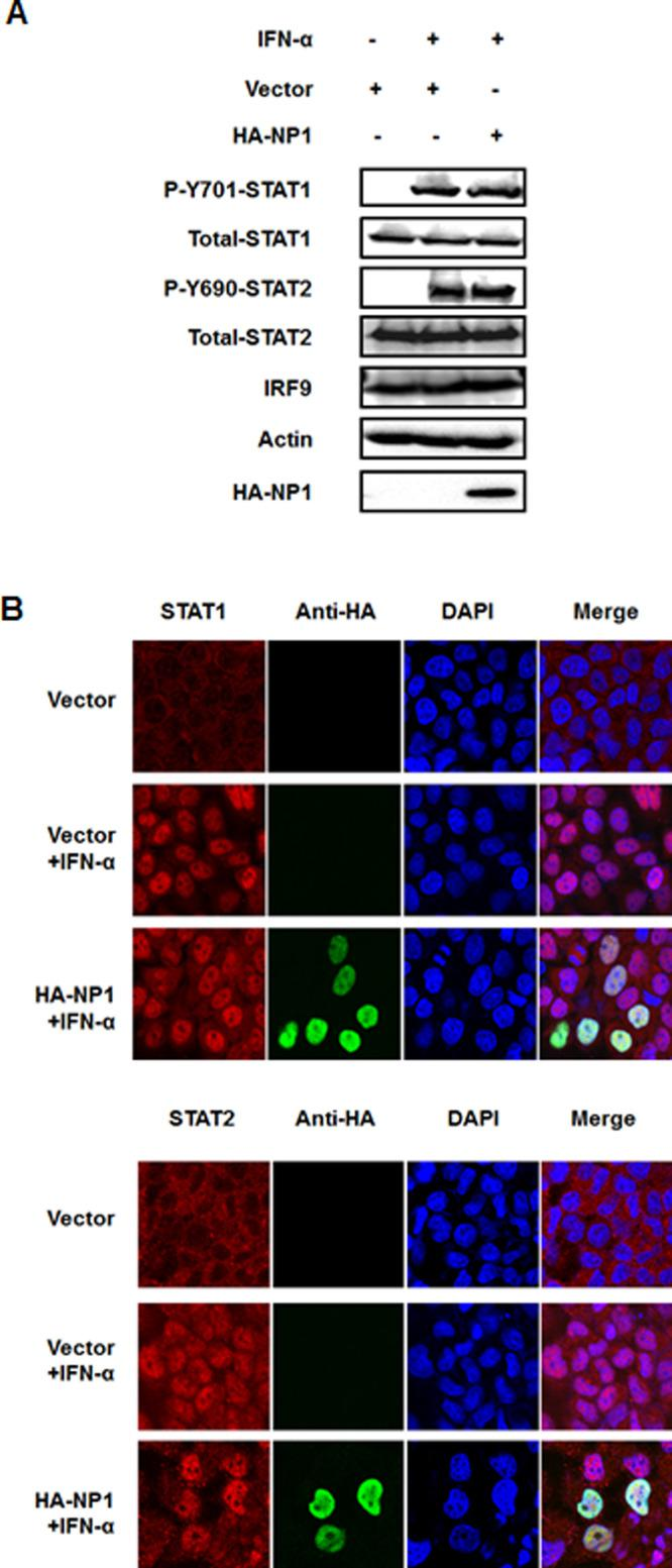 PBoV NP1 does not degrade or prevent phosphorylation and nuclear translocation of STAT1/STAT2. (A) Effects of NP1 on STAT1/2 phosphorylation and expression. HEK-293T cells were mock-transfected or transfected with HA-tagged NP1 expression plasmid. At 24-h post-transfection, the cells were treated with IFN-α (1000 IU/ml) for 30 min. Cell lysates were collected for immunoblot analysis with antibodies directed against phosphorylated STAT1 (Y701), phosphorylated STAT2 (Y690), STAT1, STAT2, IRF9, HA, or β-actin. (B) NP1 did not prevent STAT1 or STAT2 translocation. HeLa cells were transfected with HA-tagged NP1 expression plasmid. At 24-h post-transfection, the cells were treated with IFN-α (1000 IU/ml) for 30 min. Cells were fixed and stained with mouse anti-HA specific for NP1 (green) and rabbit antibody for STAT1 or STAT2 (red). Cells were viewed under the confocal microscope (Olympus Fluoview ver. 3.1). One of three experiments is shown.