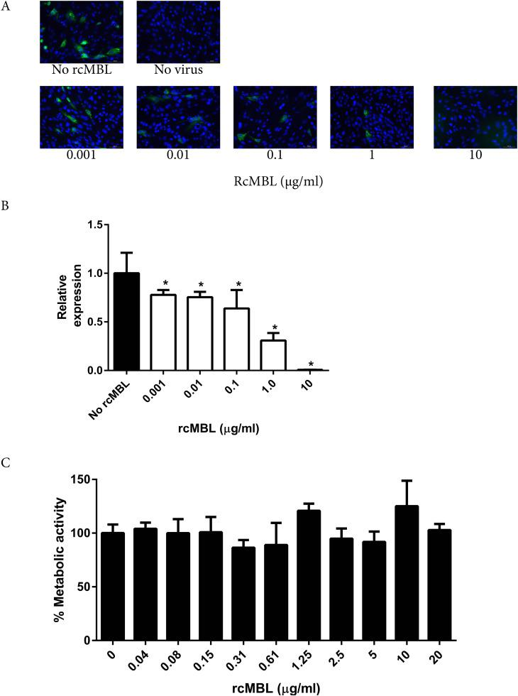 rcMBL inhibits IBV-Beaudette infection of BHK 21 cells in a concentration dependent manner . BHK-21 cells were inoculated after pre-incubation of IBV-Beaudette (MOI of 0.1) with various concentrations of rcMBL. A) Infection was determined by immunofluorescence using an antibody directed against the IBV nucleocapsid protein at 8 h post-infection. Bar: 50 µm. B) Infection was determined by quantitative PCR: the IBV viral genome expression relative to GAPDH gene expression was determined and expressed relative to the no-rcMBL control. C) The toxic effects of rcMBL on BHK-21 cells was determined by the WST-1 assay. Asterisks indicate statistical significant difference compared to the no rcMBL control. Shown are mean ± SEM of three independent experiments.