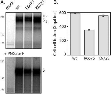 Serine mutation at R667, but not K672, reduces the ability of the S glycoprotein to mediate cell–cell fusion. (A) Wild-type SARS-CoV S glycoprotein and the R667S and K672S mutants were metabolically labeled in COS-7 cells and isolated using the C-terminal S-peptide (Spep) affinity tag ( Kim and Raines, 1993 ). The mock lane represents cells transfected without vTF7-3 infection. Proteins were resolved by SDS polyacrylamide gel electrophoresis in NuPAGE 3–8% Tris–acetate gels (Invitrogen) either as the isolated glycoproteins (above) or following deglycosylation using PNGase F (below). The Endo-H-resistant ( S r ) and Endo-H-sensitive ( S s ) forms of the S glycoprotein are indicated, as is the fully deglycosylated S polypeptide (S). [ 14 C]-methylated Rainbow molecular weight markers are indicated. The images are printed dark to highlight the absence of proteolytic cleavage. (B) The ability of the S glycoproteins to promote ACE2-dependent cell–cell fusion was detected using the recombinant vaccinia virus-based β-galactosidase reporter assay ( Nussbaum et al., 1994 , York et al., 2004 ). COS-7 cells expressing the wild-type and mutant glycoproteins were co-cultured with COS-7 cells transiently expressing the SARS-CoV cellular receptor ACE2 and infected with the fusion reporter recombinant vaccinia virus vCB21R-lacZ ( Nussbaum et al., 1994 , York et al., 2004 ). X-gal was used to detect β-galactosidase activity arising from cell–cell fusion. The number of blue syncytia is shown from two experiments, and error bars represent one standard deviation. Transfection efficiencies were comparable in all cases.