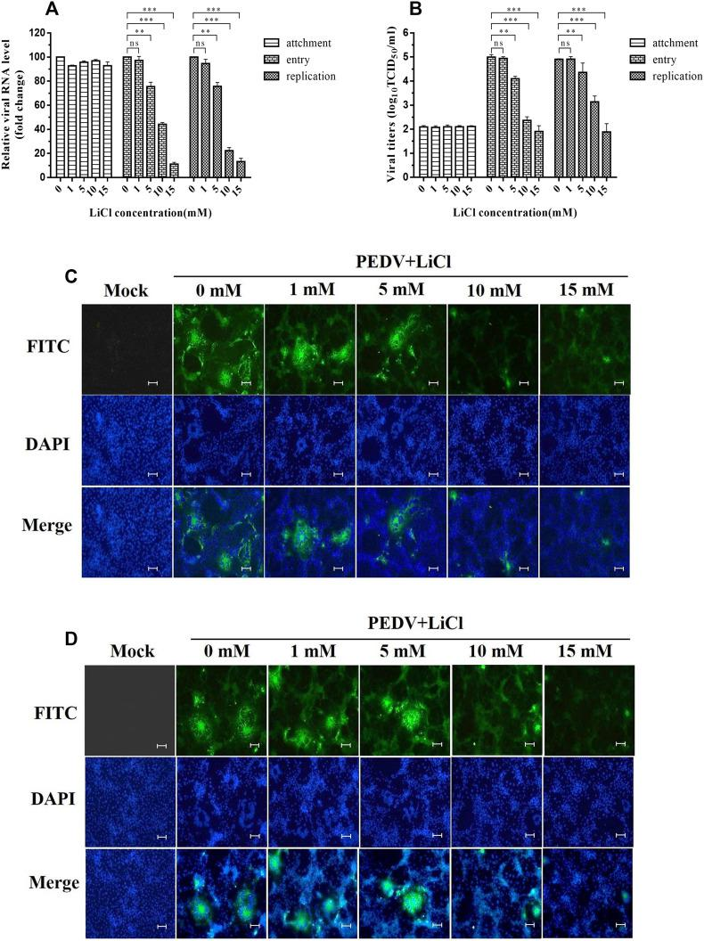 Inhibitory Effects of LiCl on different stages of PEDV infection. A. Relative viral RNA levels of cells treated with LiCl at the viral attachment, entry and replication stages as determined by real-time PCR. B. Viral titers (log10TCID50/ml) of cells treated with LiCl at the viral attachment, entry and replication stages as calculated by the method of Reed and Muench. C. Inhibitory effects of LiCl on PEDV observed at the entry stage using immunofluorescence assays (IFA). D. Inhibitory effects of LiCl on PEDV observed at the replication stage using immunofluorescence assay (IFA). Values represent the mean ± SD for three independent experiments. Green fluorescence represents the PEDV distribution, and the blue fluorescence represents the nuclear distribution. ns, no significant difference; * P