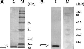 Recombinant Stx2B protein purified by affinity chromatography. A. SDS-PAGE (12.5% acrylamide, under reducing conditions). Lane 1. Purified recombinant Stx2B protein. Lane M. Protein standard. Gel was stained with Coomassie Blue. B. Western immunoblot. Lane 1. Purified recombinant Stx2B protein. Lane M. Prestained protein standard. Membrane was incubated with anti-His antibody and anti-mouse ECL. Arrow : Stx2B subunit position.