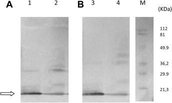 Recognition of Stx2B and Stx2 holotoxin by IgY and IgG antibodies using Western immunoblotting. Lanes 1 and 3. Purified recombinant Stx2B protein. Lanes 2 and 4. Stx2 holotoxin. Lane M. prestained protein standard. Membrane was incubated with purified anti-Stx2B IgY and anti-IgY POD (A) or rabbit sera and anti-IgG POD (B). Arrow : Stx2B subunit position.