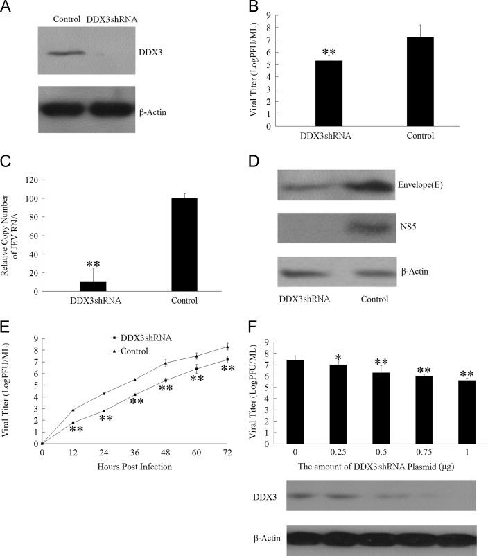 Requirement of DDX3 for JEV replication. (A) Western blotting analysis of cellular lysate using anti-DDX3 or anti-β-actin antibody after DDX3 knockdown by DDX3 shRNA. (B) Viral titers determined by plaque formation assay after DDX3 knockdown. BHK-21 cells transfected with the DDX3 shRNA were infected with JEV (MOI=0.01) for 48 h, Viral titers determined by plaque formation assay at 48 hpi. (C) The JEV genomic RNA levels in JEV infected BHK-21 cells monitored by Q-PCR after DDX3 knockdown. BHK-21 cells transfected with the DDX3 shRNA were infected with JEV (MOI=0.01) for 48 h, JEV RNA copy number was determined by Q-PCR at 48 hpi. (D) Western blot analysis on the JEV envelope (E protein) and NS5 protein expression levels in JEV infected BHK-21 cells after DDX3 knockdown. (E) BHK-21 cells transfected with the DDX3 shRNA were infected with JEV (MOI=0.01) for 48 h. The amount of virus released into the medium was determined by plaque formation assay at different time points. (F) BHK-21 cells transfected with different amounts of DDX3 shRNA plasmid were infected with JEV (MOI=0.01), 48 h later, the amount of virus released into the medium was determined by plaque formation assay. The differences between means were considered significant at * p