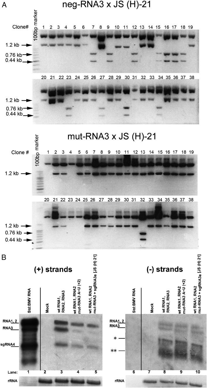 Recombination of BMV RNA3 with sgRNA3a in barley protoplasts. A. Restriction enzyme digestion of recombinant RNA3 cDNA clones obtained from barley protoplasts that were transfected with a mixture of wt BMV RNAs 1 and 2 and (top) Neg-RNA3 plus JS(H)-21 sgRNA3a or (bottom) mut-RNA3 and JS(H)-21 sgRNA3a. The RNA3 region representing the sgRNA3a sequence was amplified from total RNA extracts by RT-PCR, and the cDNA products were cloned into the pGEM-T Easy system. The insert sequences were released by Hind III/ Eco RI digestion and separated by electrophoresis in a 1.5% agarose gel. An intact 1.2-kb fragment reflected the lack of the Hind III marker site at nt position 780, whereas the double 0.44 kb and 0.76 kb bands indicate the presence of the Hind III marker. B. Northern blot analysis showing the accumulation in protoplasts of either (+) or (−) strands (left and right panels, respectively) of BMV RNAs. Total protoplast RNA was separated in a 1.2% denaturing agarose gel, blotted, and probed with a 3′-specific RNA probe detecting either (+) or (−) strands (see Materials and methods ). Lanes 1 and 6, virion BMV RNA used as size standards; lanes 2 and 7, negative controls from mock inoculated protoplasts; lanes 3 and 8, protoplasts transfected with equimolar amounts of BMV RNAs 1 and 2 and wt RNA3; lanes 4 and 9, protoplasts transfected with BMV RNAs 1 and 2 and (A → U) RNA3; lanes 5 and 10, protoplasts transfected with BMV RNAs 1 and 2, (A → U) RNA3, and sgRNA3a. Ribosomal RNA (rRNA) bands (after staining with ethidium bromide) are shown below. The position corresponding to the (−) RNA4 band is marked with a single asterisk on the right panel, whereas the migration position of degradation products (likely because minus strands are not encapsidated and thus less protected) is marked with two asterisks.