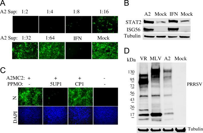 Detection of antiviral activity in cell culture supernatant from A2MC2-infected MARC-145 cells. (A) Inhibition of NDV-GFP replication in Vero cells. Vero cells were treated with dilutions of cell culture supernatant of A2MC2-infected MARC-145 cells. The Vero cells were inoculated with NDV-GFP 12 h after the treatment, and observed under fluorescence microscopy at 24 h post-infection. Treatment of the cells with IFN-α at a final concentration of 1000 U/ml was included as a positive control. (B) Elevation of STAT2 and ISG56 proteins in Vero cells after treatment with the supernatant from A2MC2-infected MARC-145 cells detected by Western blot analysis. Vero cells treated with IFN-α and mock-treated were included as positive and negative controls, respectively. Blotting with β-tubulin antibody was done to normalize protein loading. (C) Inhibition of A2MC2 replication in MARC-145 cells by PRRSV-specific peptide-conjugated phosphorodiamidate morpholino oligomer (PPMO) 5UP1. A scrambled control PPMO CP1 was included as a negative control. An indirect immunofluorescence assay with PRRSV N-specific monoclonal antibody was conducted. The bottom panel of images shows the nuclear DNA stained with 4′,6-19 diamidino-2-phenylindole (DAPI). (D) Detection of PRRSV proteins in whole cell lysate of A2MC2-infected cells (A2 lane) by Western blotting with pig antiserum. Cell lysate samples from PRRSV VR-2385-infected (VR lane) or MLV-infected cells were included as positive controls. Molecular weight markers are illustrated on the left.