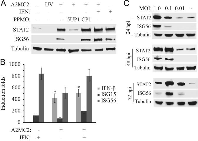 """A2MC2 replication induces elevated expression of IFN-stimulated genes in MARC-145 cells. (A) Elevation of STAT2 and ISG56 detected by Western blotting. The cells were infected with A2MC2 or UV-inactivated virus at 1 TCID 50 per cell, followed by treatment with PPMO 5UP1 to inhibit A2MC2 replication, and at 24 hpi, treated with or without IFN-α. Cell lysate from uninfected cells was included as a control. (B) Elevation of IFN-β, ISG15 and ISG56 expression detected by real-time PCR. Treatment of the cells with IFN-α was included as a control. Relative induction folds in comparison with mock-treated cells are shown. Error bars represent variation between repeated experiments. Significant differences between A2MC2-infected cells and the uninfected cells are denoted by """"*"""", which indicates a P -value of"""