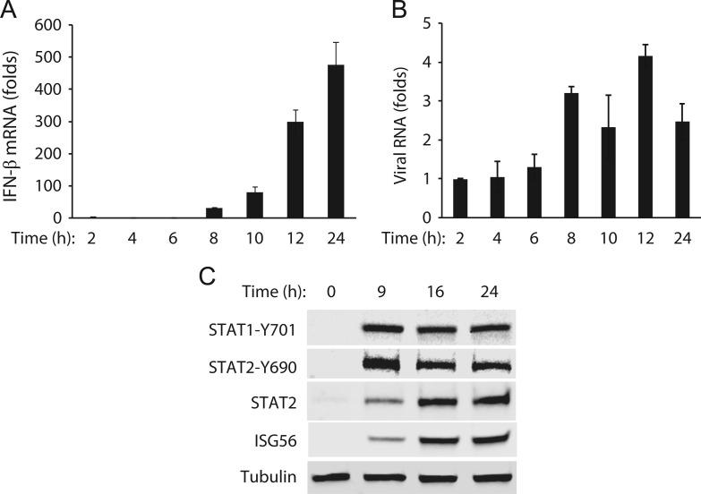 Time-course kinetics of IFN-β expression and activation of the JAK–STAT signaling pathway in A2MC2-infected MARC-145 cells. (A). Time-course kinetics of IFN-β expression. The cells were infected with A2MC2 at 1 TCID 50 per cell and harvested at 2, 4, 6, 8, 10, 12, and 24 hpi for real-time RT-PCR detection of IFN-β transcript. Relative fold of induction in comparison with uninfected cells are shown. Error bars represent variation between repeated experiments. (B) Viral RNA levels detected by real-time RT-PCR. Relative fold of viral RNA in comparison with that detected at 2 hpi are shown. (C) Activation of the JAK-STAT signaling pathway. The cells were infected with A2MC2 at an MOI of 1 TCID 50 per cell and harvested at 0, 9, 16, and 24 hpi for Western blot analysis of phosphorylated STAT1 (STAT1-Y701) and STAT2 (STAT2-Y690), whole STAT2, and ISG56.