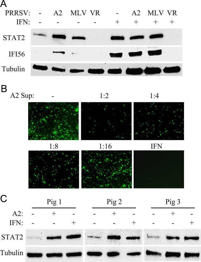A2MC2 induces expression of IFN-stimulated genes in primary porcine pulmonary alveolar macrophages (PAMs). (A) STAT2 and IFI56 detected by Western blotting. PAMs were infected with PRRSV VR-2385, A2MC2, and MLV, and at 12 hpi, treated with or without IFN-α. The cells were harvested at 20 hpi for Western blotting. Cell lysate samples from uninfected PAMs with or without IFN treatment were included as controls. (B) IFN bioassay in CRL2843 cells. Supernatant from A2MC2-infected PAMs was diluted and added to the CRL2843 cells 12 h before NDV-GFP inoculation. The cells were observed 24 h after NDV-GFP inoculation. Treatment of the cells with swine IFN-α at a final concentration of 1000 U/ml was included as a positive control. (C) A2MC2 induces elevation of STAT2 in PAM cells from different piglets. PAMs from three piglets were inoculated with A2MC2 at 0.05 TCID 50 per cell, respectively, and incubated for 20 h. Cell lysate samples from IFN-α-treated PAM cells were included as positive controls. Cell lysate samples from non-infected cells were included as negative controls in the Western blot analyses.