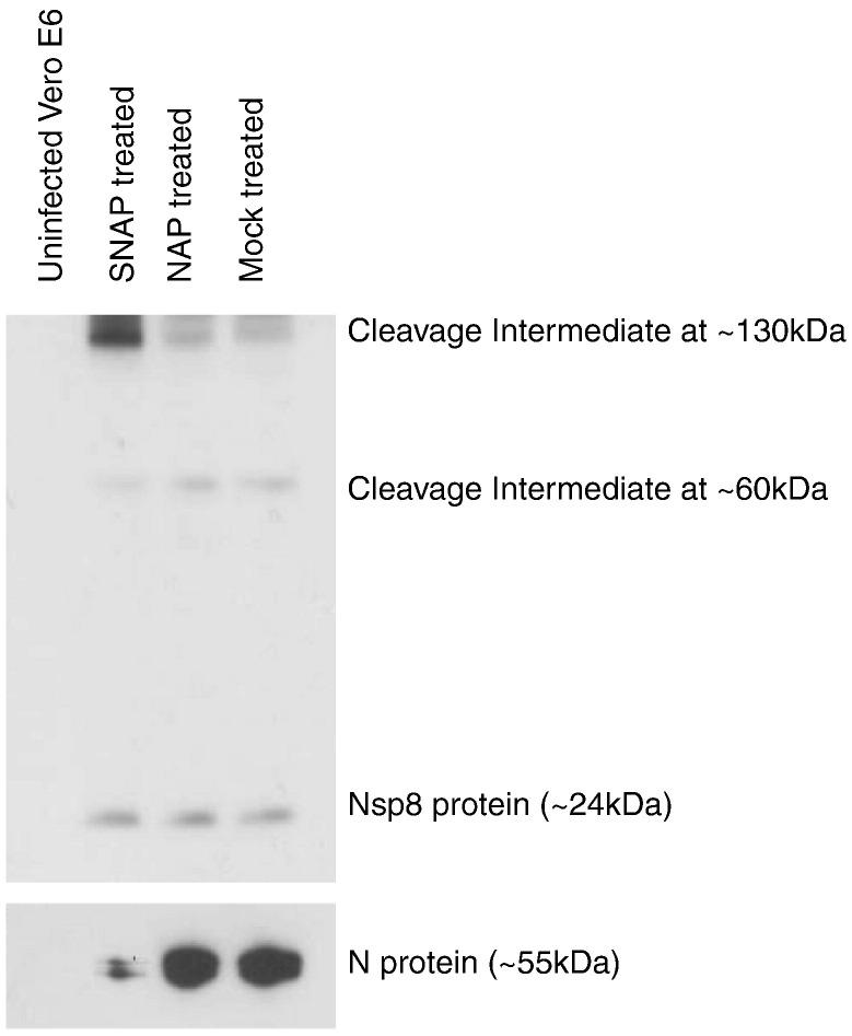 SNAP treatment causes a difference in observed levels of replicase polyprotein cleavage products. Lysates from either uninfected or SARS-CoV infected Vero E6 cells which had either been treated with SNAP, NAP or mock-treated harvested 24 h post-infection were subjected to Western blot analysis using a monoclonal antibody targeting the nsp8 protein.