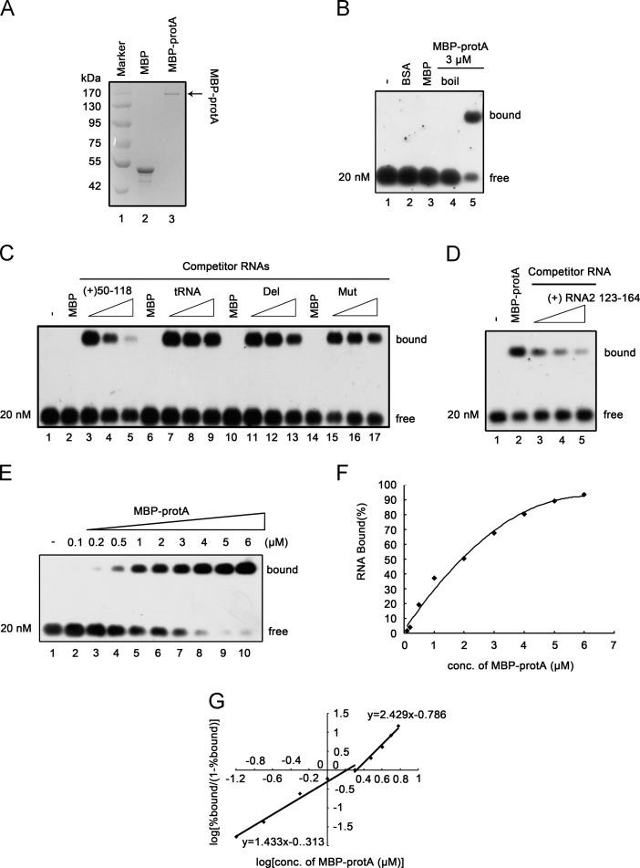 The binding preference of recombinant protein A to RNA1. (A) SDS-PAGE analysis of purified recombinant protein A from E. coli . Protein A ORF was cloned into pMAL-c2X and expressed as C-terminal fusion proteins with MBP (MBP-protA) as described previously ( Qiu et al., 2014 ). Lane 1, Marker; lane 2, MBP protein alone; lane 3, MBP-protA. (B) Gel mobility shift assay showing interactions between MBP-protA and RNA1. The in vitro transcribed DIG-labeled RNA1 (50–118) was separately incubated with bovine serum albumin (BSA, lane 2), MBP alone (lane 3), boiled MBP-protA (lane 4) and MBP-protA (lane 5) (3 μM each), in a binding buffer at 27 °C for 30 min and then analyzed in 1% agarose gel. Gel was transferred to Hybond N nylon membranes via capillary transfer and then the membranes were incubated with anti-DIG antibody conjugated with alkaline phosphatase, exposed to film. The unbound, free RNA1 (50–118) probe and the shift (bound) RNA-protein complex are marked on the right. (C) Unlabeled competitor RNAs at increasing concentrations (in 1-, 10-, 60-fold excess) were added to the mixture containing the DIG-labeled RNA1 (50–118) and 3 μM MBP-protA, and the bound complexes were analyzed in a gel mobility shift assay. The tRNA was from yeast. (D) Gel mobility shift assay showing interactions between MBP-protA and RNA2. The in vitro transcribed DIG-labeled RNA2 (123–164) was incubated with MBP-protA (lane 2) and in a binding buffer at 27 °C for 30 min and then analyzed in 1% agarose gel. Unlabeled competitor RNAs at increasing concentrations (in 5-, 50-, 100-fold excess) were added to the mixture containing the DIG-labeled RNA2 (123–164) and 3 μM MBP-protA, and the bound complexes were analyzed in a gel mobility shift assay. (E) Cooperative binding of MBP-protA to RNA1 (50–118) . Gel mobility shift assays were performed using increasing molar concentrations of MBP-protA incubated with 20nM RNA1 (50–118) probe. The molar concentrations of MBP-protA (0.1–6 μM) are indicated ab