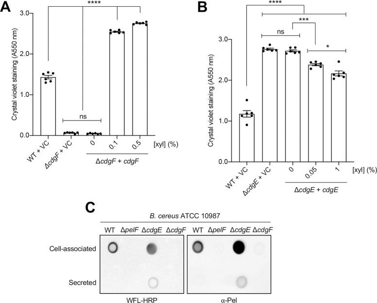 Biofilm formation by B . cereus ATCC 10987 is regulated by the diguanylate cyclase CdgF and the phosphodiesterase CdgE. (A) Biofilm formation by cdgF deletion and complementation strains assessed by the crystal violet assay. (B) Biofilm formation by cdgE deletion and complementation strains assessed by the crystal violet assay. VC, empty vector control; xyl, xylose. Error bars represent the standard error of the mean of six independent trials. Statistical significance was determined using one-way analysis of variance with Dunn's multiple comparison. ns, no significant difference; *, p