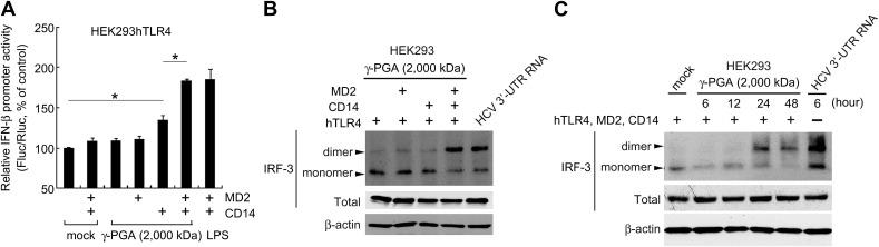 Stimulation of TLR4 by γ-PGA requires the accessory factors MD2 and CD14 for induction of IFN-β production. (A) HEK293hTLR4 cells were transfected with plasmids to express the indicated proteins (MD2 and CD14) and with the luciferase expressing plasmids (IFNβ-pGL3 and pRL-TK) for the IFN-β promoter activity assay. After 12 h, the cells were treated with 100 μ m γ-PGA (MW = 2000 kDa) or 200 ng/ml LPS for 30 h and then harvested for dual luciferase assays. Firefly luciferase activity was normalized to Renilla luciferase activity from the pRL-TK plasmid. Normalized luciferase activity (Fluc/Rluc) of mock-treated cells was defined as 100. Data are presented as means ± SD of three measurements from three independent experiments. * P