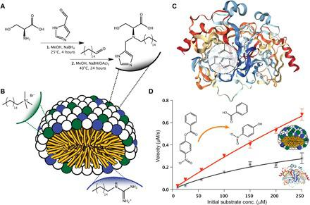 A hydrolase-inspired cosurfactant catalyst. ( A ) Straightforward preparation of a novel surfactant incorporating an ACT of hydroxyl, carboxylate, and imidazole units as headgroup. ( B ) Self-assembly of the ACT surfactant with cosurfactants [hexadecyl guanidinium hydrochloride (Guan-C 16 ) and cetyltrimethylammonium bromide (CTAB)] yields a functionalized micelle with an internal hydrophobic core as a mimic of native hydrolase binding pockets. ( C ) The active site of a common hydrolase, α-chymotrypsin, highlighting a similar hydrophobic pocket and a catalytic triad of active residues to that of the ACT-surfactant system ( 74 ). ( D ) The ACT-surfactant coassembly displays an enhanced esterolytic effect for a model substrate when directly compared with the native enzyme α-chymotrypsin. (Data points are the mean of at least three independent experiments, and error bars represent SEM.)