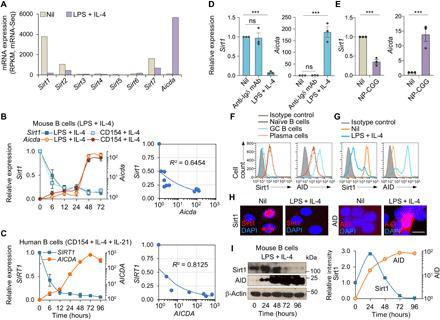 Aicda -inducing stimuli down-regulate Sirt1 in human and mouse B cells. ( A ) Sirt1-7 and Aicda expression in mouse naïve B cells before and after stimulation with LPS plus IL-4 for 72 hours, as measured by mRNA-Seq and depicted as RPKM (reads per kilobase of transcripts per million mapped reads; one of two independent experiments yielding comparable results). ( B ) Sirt1 and Aicda transcript levels [quantitative reverse transcription polymerase chain reaction (qRT-PCR) analysis] in mouse B cells stimulated with LPS or CD154 plus IL-4 for 0, 6, 12, 24, 48, or 72 hours. Data are ratios to the expression in unstimulated B cells (set as 1; means ± SEM of three biological independent experiments, each consisting of triplicates, left panel). Also shown are the inverse correlation scatter plots of Sirt1 and Aicda expression levels (right). ( C ) SIRT1 and AICDA expression (qRT-PCR analysis) in human naïve B cells stimulated with CD154 plus IL-4 and IL-21 for 0, 6, 12, 24, 48, 72, or 96 hours. Data are ratio to the expression in unstimulated B cells (set as 1; means ± SEM of three biological independent experiments, each consisting of triplicates, left). Also shown are the inverse correlation scatter plots of SIRT1 and AICDA expression levels (right). ( D ) Sirt1 and Aicda transcript levels (qRT-PCR analysis) in mouse B cells stimulated with anti-Igδ mAb or LPS plus IL-4 for 72 hours. Data are ratios to the expression in unstimulated B cells (set as 1; means ± SEM of three biological independent experiments, each consisting of triplicates). ( E ) Sirt1 and Aicda expression (qRT-PCR analysis) in spleen B cells from C57BL/6 mice immunized with nil or NP 16 -CGG and analyzed 10 days after immunization. Data are ratios to the expression in nonimmunized mice (set as 1; means ± SEM of three biological independent experiments, each consisting of triplicates). ( F ) Sirt1 and AID protein levels in CD19 + IgD hi GL7 − CD138 − naïve B cells, CD19 + IgD − GL7 hi CD138 − germinal center (GC) B cells, and CD19 lo CD138 hi plasma cells/plasmablasts in C57BL/6 mice immunized with NP 16 -CGG, as analyzed by flow cytometry 10 days after immunization. ( G to I ) Sirt1 and AID protein levels in mouse B cells before (nil) and after stimulation with LPS plus IL-4 for 72 hours analyzed by flow cytometry (G), intracellular immunofluorescence (H), and immunoblotting (I). Densitometry quantification of immunoblotting signals normalized to β-actin levels and depicted as ratios of readings in LPS plus IL-4 stimulated B cells to those in unstimulated (0 hours) B cells (I, right). Data in (F) to (I) are one of two independent experiments yielding similar results. *** P