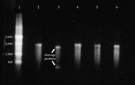 Native agarose gel analysis of Massachusetts 41 S1 runoff RNA cleavage as mediated by RNase H and chimeric oligonucleotides specific for strains in the Massachusetts, Arkansas, Connecticut, and Delaware/Georgia 98 serotypes. Lane 1 = RNA ladder, sizes from top to bottom are 9000, 7000, 5000, 3000, 2000, 1000, and 500 bases (New England Biolabs, Beverly, MA); lane 2 = uncleaved Massachusetts 41 S1 runoff RNA; lane 3 = Massachusetts 41 S1 runoff RNA incubated with anti-Massachusetts chimeric oligonucleotide and RNase H; lane 4 = same as lane 3 except, anti-Arkansas chimeric oligonucleotide used; lane 5 = same as lane 3, except anti-Connecticut chimeric oligonucleotide used; lane 6 = same as lane 3, except anti-Delaware chimeric oligonucleotide used. Arrows indicate cleavage products of ∼1500 and 300 bases.