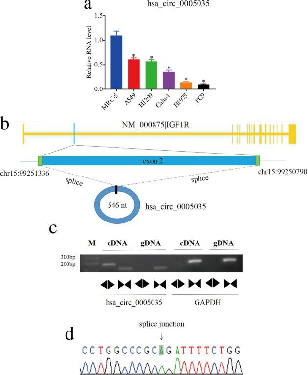 Detection of circ‐IGF1R in lung cancer cells. ( a ) The relative expression levels of circ‐IGF1R in six cell lines. ( b ) Schematic demonstrating that circ‐IGF1R is produced at the IGF1R gene locus exon2. ( c ) qRT‐PCR assay with divergent or convergent primers affirming the existence of circ‐IGF1R in A549 cells. GAPDH was used as the negative control. ( d ) Sanger sequencing of circ‐IGF1R verified the back‐splice junction.