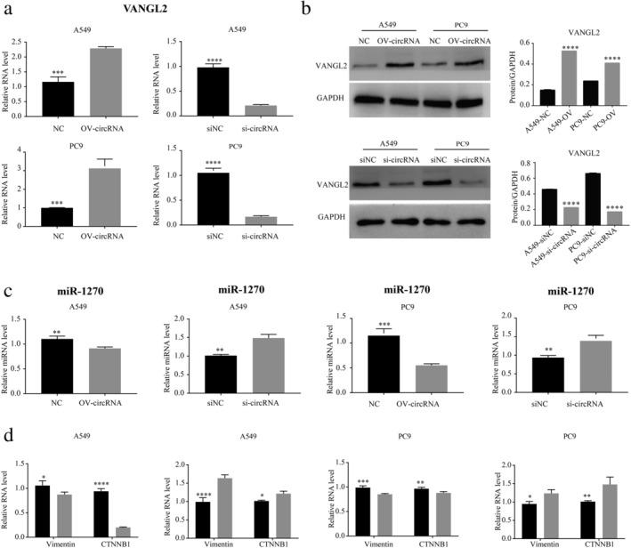 The expression level of VANGL2, miR‐127, CTNNB1, and vimentin in A549 and PC9 lung cancer cell lines was verified using qRT‐PCR and Western Blotting. The expression level of VANGL2 ( a ) is consistent with the overexpression and interference with circ‐IGF1R in A549 and PC9 lung cancer cell lines using qRT‐PCR ( a ) and western blotting ( b ). The expression level of miR‐1270 ( c ) is opposite to the overexpression and interference of circ‐IGF1R in A549 and PC9 lung cancer cell lines. The expression of CTNNB1 and vimentin was downregulated after overexpressing circ‐IGF1R in cells, while the expression of related proteins was upregulated after interference with circ‐IGF1R expression ( d ) ( ) NC, and ( ) OV‐circRNA; ( ) NC, and ( ) si‐circRNA; ( ) NC, and ( ) OV‐circRNA; ( ) NC, and ( ) si‐circRNA.
