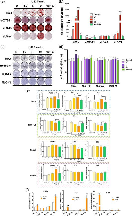 IL‐17 enhances the osteogenic differentiation of mMSCs but not MC3T3‐E1. (a,b) Increased mineralized nodule formation (red) in mesenchymal stem cells (MSCs) and MLO‐Y4 osteocytes after treatment with 0.5–50 ng/ml IL‐17 in osteogenic induction medium for 14 days. Mineralization of MC3T3‐E1 cells was inhibited, and there was no change in mineralization levels in MLO‐A5 cells. (c,d) Alkaline phosphatase (ALP) expression (purple) of MSCs was enhanced by IL‐17 (7 days). (e,f) mRNA expression of factors after IL‐17 treatment for 24 hr. Treatment with IL‐17 increased runt‐related transcription factor 2 (RUNX2), collagen‐1 (COL‐1) and osteocalcin (OCN) in MSCs, and only RUNX2 in MLO‐Y4 cells. All three factors were decreased in MC3T3‐E1 cells and no significant changes were measured in MLO‐A5 cells. (f) IL‐17 receptor A (RA) and IL‐6 were upregulated in MSCs and MLO‐Y4 cells, and IL‐β was significantly upregulated in MSCs. IL, interleukin; mMSC, mouse MSCs; mRNA, messenger RNA