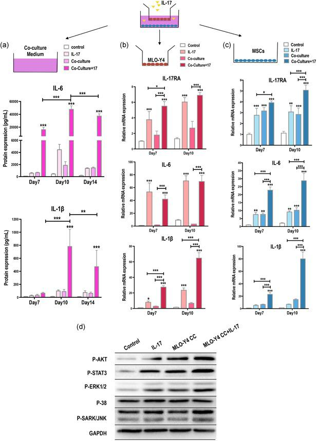 Interleukin (IL)‐17 upregulates inflammatory factors, IL‐6 and IL‐1β, and activates ERK, AKT, and STAT3 signaling in mesenchymal stem cells (MSC)–MLO‐Y4 cocultures (CC). (a) The medium from CCs of MSCs and MLO‐Y4 osteocytes was analyzed by ELISA on days 7, 10, and 14. IL‐6 and IL‐1β were synergistically induced by IL‐17 (50 ng/ml) and osteocyte CC. (b) MLO‐Y4 osteocytes in the upper chamber of the transwell CC were tested for changes in the mRNA expression levels of IL‐17RA, IL‐6, and IL‐1β after IL‐17 treatment. (c) MSCs in the lower chambers of the transwell CC were tested for changes in the mRNA expression levels of IL‐17RA, IL‐6, and IL‐1 β after IL‐17 treatment. (d) Increased phosphorylation of signaling regulators ERK1/2, AKT, and STAT3 after IL‐17 stimulation in MLO‐Y4 CCs. Phosphorylated SARK/JNK and p38 were unchanged (24 hr). ELISA, enzyme‐linked immunosorbent assay; ERK1/2, extracellular signal‐regulated kinase 1/2; mRNA, messenger RNA; RA, receptor A; STAT3, signal transducer and activator of transcription 3. * p