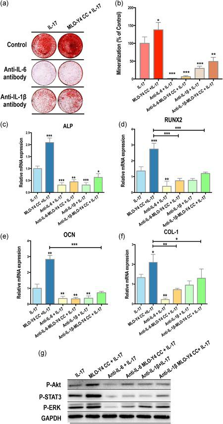 Interleukin (IL)‐17 activates intercellular signaling of osteogenesis via IL‐6 and IL‐1β. Anti‐IL‐6 and anti‐IL‐1β antibodies were used in the IL‐17–induced coculture (CC) system. Both antibodies could effectively inhibit (a,b) the formation of mineral nodules, (c) the mRNA expression of ALP, RUNX2, OCN, and COL‐1 and (d) AKT, STAT3, and ERK1/2 phosphorylation in the control‐MSCs CC and MLO‐Y4 CC at Day 14 after IL‐17 treatment; albeit, the effects of IL‐1β neutralization were weaker than that of IL‐6. ALP, alkaline phosphatase; COL‐1, collagen‐1; ERK1/2, extracellular signal‐regulated kinase 1/2; mRNA, messenger RNA; OCN, osteocalcin; RUNX2, runt‐related transcription factor 2; STAT3, signal transducer and activator of transcription 3