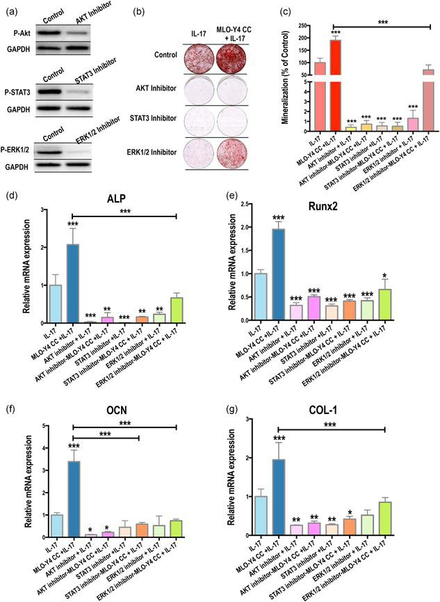 AKT, STAT3, and ERK1/2 pathways are activated in IL‐17–mediated osteoblastic differentiation. (a) Ten micrometer of the AKT inhibitor Perifosine, the JAK1 and JAK2 inhibitor AZD1480 (to inhibit STAT3 signaling), and the MEK1/2 inhibitor U0126, solubilized in 0.1% DMSO in serum‐free medium efficiently suppressed AKT, STAT3, and ERK1/2 expression, respectively, in MSCs. (b,c) IL‐17–induced coculture systems with 10 μM of inhibitors inhibited mineralization (14 days). (d–g) Relative mRNA expression of ALP, RUNX2, OCN, and COL‐1 was significantly decreased by the suppression of AKT, STAT3, and ERK1/2 signaling pathways. ALP, alkaline phosphatase; COL‐1, collagen‐1; ERK1/2, extracellular signal‐regulated kinase 1/2; IL, interleukin; mRNA, messenger RNA; MSC, mesenchymal stem cell; OCN, osteocalcin; RUNX2, runt‐related transcription factor 2; STAT3, signal transducer and activator of transcription 3. (* p