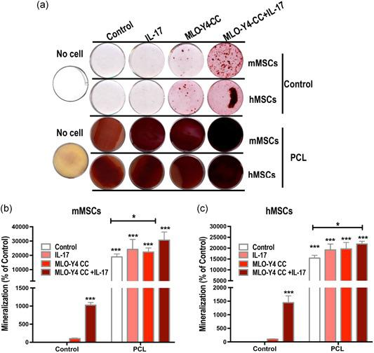 Three‐dimensional culture of mesenchymal stem cells (MSCs) on a polycaprolactone (PCL) scaffold enhances IL‐17‐stimulated osteogenesis when cocultured with MLO‐Y4 osteocytes. (a) Alizarin red staining shows mineralized nodule formation (red) in mouse MSCs (mMSCs) and human‐induced pluripotent stem cell‐derived MSCs (hMSCs) cultures on Day 10. Growth on the PCL scaffold promoted osteogenesis, and this could be further enhanced by coculture with MLO‐Y4 osteocytes and IL‐17 stimulation. (b) Quantification of mMSCs mineralazation. (c) Quantification of hMSCs mineralization. IL, interleukin