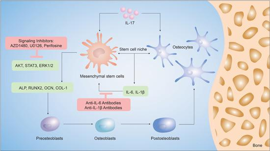 Schematic of the findings of this study. Mesenchymal stem cells (MSCs) exposed to interleukin (IL)‐17 and osteocytes in coculture underwent differentiation along the osteogenic lineage, better than when exposed to either stimulus alone. IL‐17 induces the expression of inflammatory markers, IL‐6 and IL‐1β, which in turn, increase the expression of markers of osteoblastic differentiation in MSCs, such as alkaline phosphatase (ALP), runt‐related transcription factor 2 (RUNX2), osteocalcin (OCN) and collagen‐1 (COL‐1). The activation of extracellular signal‐regulated kinase 1/2 (ERK1/2), AKT, and signal transducer and activator of transcription 3 (STAT3) regulated IL‐17 induced osteogenesis in the MSC niche, which could be inhibited by antibodies of IL‐6 and IL‐1β