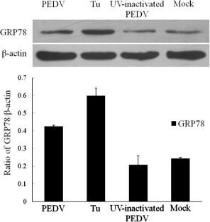 PEDV replication is required for UPR induction. Vero cells were infected with UV-inactivated PEDV, PEDV (both MOI = 0.01) or treated with Tu (2 μg/ml). The cells were harvested at 24 h and Western blot was performed to determine UPR activation using anti-GRP78 antibody. β-Actin was used as a loading control.
