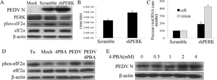 The impairment of UPR increased PEDV replication. (A) Vero cells were transfected with shRNAs to knockdown protein PERK for 48 h, and then infected with PEDV for 36 h. Scramble shRNA plasmid was used as the negative control. PERK, eIF2α and phos-eIF2α expression and the N protein of PEDV were analyzed by Western blot. β-Actin was used as sample loading control. (B) PEDV titers in the supernatants were measured by plaque formation assays. (C) The RNA level of gene ORF3 from the infected cells was evaluated by Q-PCR. (D, E) Vero cells were infected with PEDV for 2 h, then treated with 4-PBA for 24 h. The Western blot was performed to test eIF2α and phospho-eIF2α expression and the change of N protein of PEDV. β-Actin was used as sample loading control.