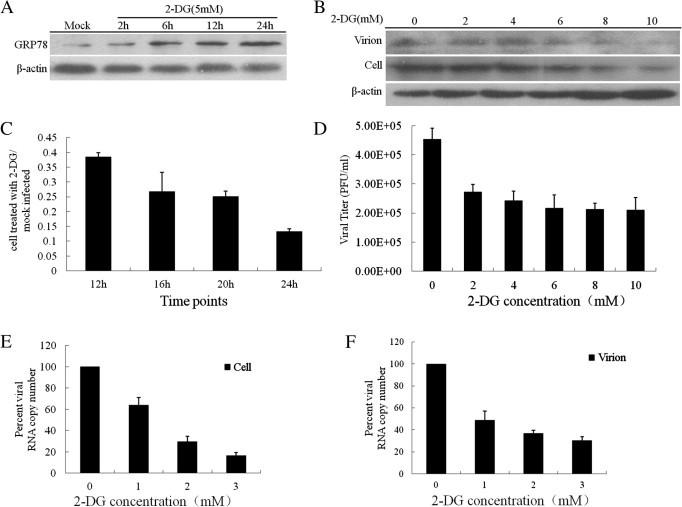 2-DG inhibits PEDV replication and gene expression. (A) Vero cells were treated with 5 mM 2-DG for the indicated time. Cell lysates were analyzed by Western blot using antibody against GRP78. (B) Vero cells were infected with PEDV (MOI = 0.01) after pretreated with 2-DG 24 h for indicated concentrations. Supernatant (virions) and cell lysates were analyzed by Western blot using antibody against PEDV N. (C) 2-DG affected PEDV replication. The cells were incubated either in the presence or absence of 2-DG for 24 h before infected with PEDV (MOI = 1). The cells were harvested for the indicated time for RT-PCR analysis using primers specific for PEDV N gene. The ratio was the gene copy number of N gene in 2-DG treated and mock-treated cells. (D) Vero cells were infected with PEDV (MOI = 0.01) for 48 h after cells treated with various dosages of 2-DG for 24 h. PEDV titers in the supernatants were measured by plaque formation assays. (E, F) 5 × 10 5 Vero cells were infected with PEDV (MOI = 0.01) for 48 h after cells treated with various dosages of 2-DG for 24 h. Total RNA was extracted, and cDNA was synthesized by reverse transcription. The RT-PCR was used to analyze the viral RNA copy numbers in the cells and supernatants (virion).
