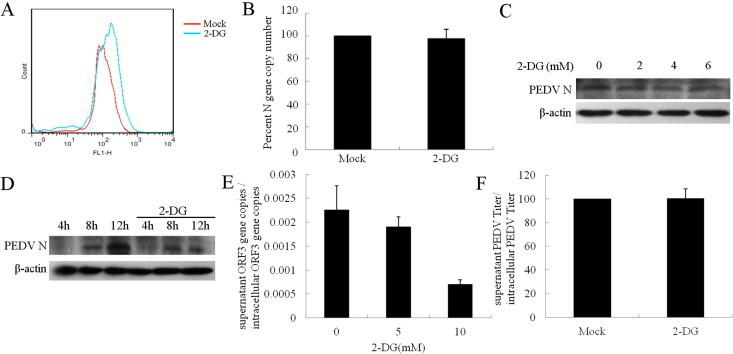 2-DG treatment affects virus packaging. (A) Vero cells were pretreated with 10 mM 2-DG for 24 h, and the cells were analyzed by FACS analysis using anti-CD13 polyclonal antibody. (B, C) 2-DG treatment did not affect virus entry as determined by RT-PCR and Western blot analysis. For RT-PCR analysis, the cells were treated with 10 mM 2-DG before virus infection. Bars represent mean percent copy number of viral RNA levels in cells by RT-PCR using primers specific for PEDV N gene. Cell lysates were analyzed by Western blot using antibody against PEDV N. (D) The Vero cells were infected with PEDV for 2 h (MOI = 1), 2-DG (10 mM) was incubated with the cells. The cells were harvested at different time points. Cell lysates were analyzed by Western blot using antibody against PEDV N. (E, F) The Vero cells was treated with different concentrations 2-DG after infected with PEDV (MOI = 0.01) for 2 h, the ratio of PEDV RNA copy numbers between the supernatants and the cell lysates was detected by Q-PCR, and the ratio of the virus titers in supernatants and cell lysates were determined by plaque assay.