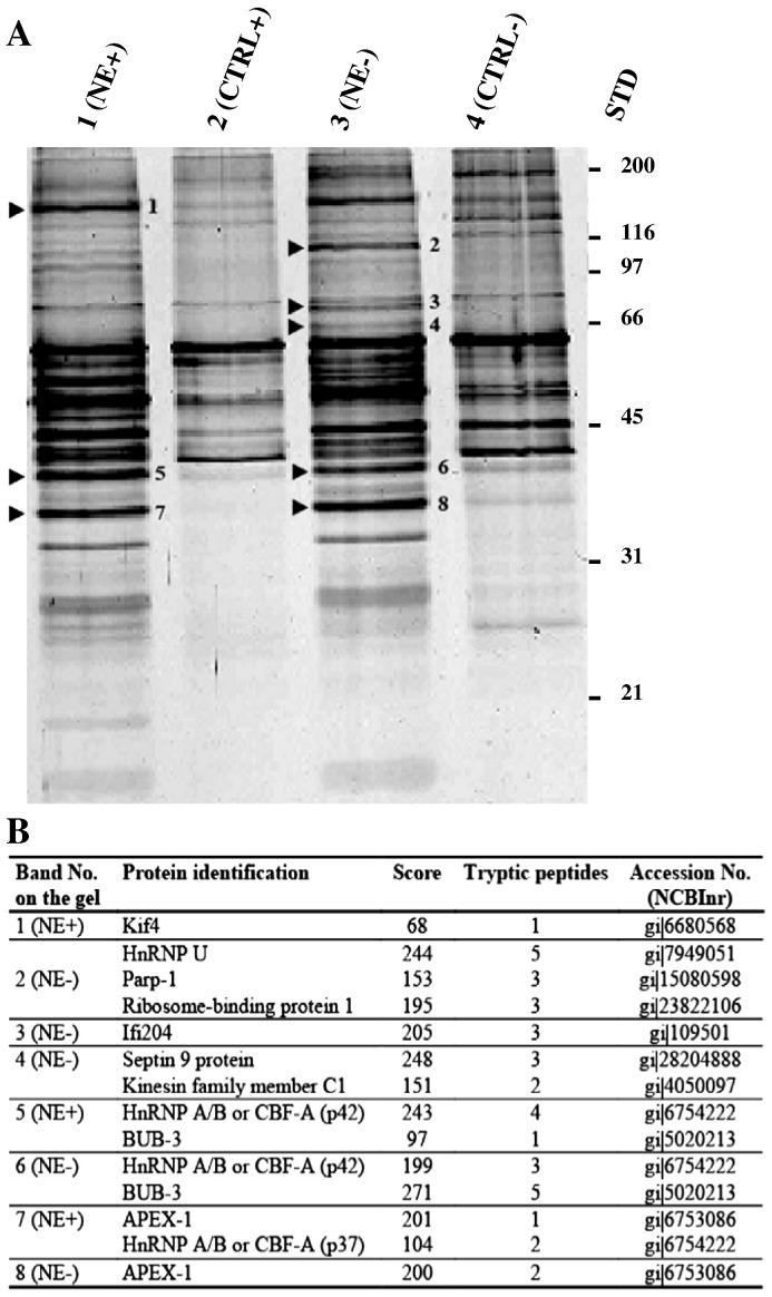 Purification of nuclear proteins binding to the SRE1-EBS-GRE elements of the human apoD promoter. (A) Nuclear extracts from normal growth (10% serum: +) or growth arrest (0.5% serum: −) conditions were incubated with either the biotinylated oligonucleotide bound to streptavidin beads (NE) or streptavidin beads alone (CTRL). The bound proteins were eluted and analyzed by SDS-PAGE and silver staining. The numbers and arrows on the gel indicate the excised bands. (B) Mass-spectrometry analysis of the eluted bands. Nuclear factors were identified by mass spectrometry (LC-MSMS) after tryptic digestion. STD: Standard molecular weight in kDa; this experiment was done in duplicate.