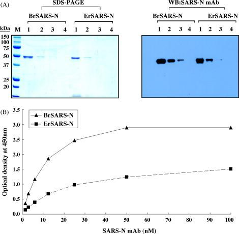 Immunoreactivity analysis of recombinant SARS-N protein using mAbs. (A) Immunoreactivity analysis of BrSARS-N and ErSARS-N protein by Western blot under denaturing conditions. The serial diluents of both recombinant proteins were separated by SDS-PAGE and transferred to a nitrocellulose membrane. The membrane was incubated with SARS-N mAbs, followed by HRP-conjugated anti-mouse IgG, and proteins were detected using chemiluminescence staining. Findings suggested that BrSARS-N is more highly antigenic than ErSARS-N under denaturing conditions. (B) Immunoreactivity analysis of BrSARS-N and ErSARS-N protein by indirect ELISA under nondenaturing conditions. SARS-N mAb was incubated in each coated well with the rSARS-N proteins, followed by HRP-conjugated anti-mouse IgG, and proteins were detected using TMB substrate solution, which indicated that BrSARS-N protein has also higher antigenicity than ErSARS-N protein under nondenaturing conditions.