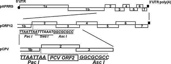 Construction of recombinant PRRSV expressing PCV2 capsid gene. The boxed numbers 1a, 1b, 2a, 2b, 3–7 represent PRRSV open reading frame (ORF) 1a-ORF7, respectively. For the mutant PRRSV clones, only the region covering the 3′ part of ORF 1b through the 3′ end of the genome is shown. The pORF12 was constructed ( Yu et al., 2009 ) by inserting restriction sites (Pac I, Swa I and Asc I, a total of 23 nt) directly between ORF1b and ORF2 of the wild-type pAPRRS. pCPV was then constructed by inserting Pac I-PCV2 ORF2-Asc I in the same insertion site as pORF12.
