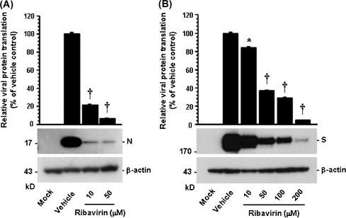 Inhibition of viral protein translation by ribavirin. Ribavirin-treated PAM-pCD163 and Vero cells were mock-infected or infected with PRRSV (A) or PEDV (B) for 1 h and were further cultivated in the presence or absence of ribavirin. At 48 hpi, cellular lysates were collected, resolved by SDS-PAGE, transferred to a nitrocellulose membrane, and immunoblotted by using the antibody that recognizes the PRRSV N protein or the PEDV S protein. The blot was also reacted with mouse MAb against β-actin to verify equal protein loading. Each viral protein expression was quantitatively analyzed by densitometry in terms of the relative density value to the β-actin gene and ribavirin-treated sample results were compared to vehicle-control results. Values are representative of the mean from three independent experiments and error bars denote standard deviations. * P = 0.001–0.05; † P