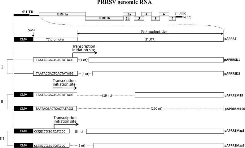 Schematic representation of serial deletions of the PRRSV 5′ UTR. The upper panel showed the PRRSV genomic organization, which had 9 encoding ORFs denoted by gray box, flanked by 5′, 3′ UTR and poly (A) tail. Group I represented pAPRRSD1 and SD3, which were used as T7 promoter-driven RNA-launched mutant analysis. Group II represented the CMV promoter-driven DNA-launched serial deletion mutants designated as pAPRRSM x , x denoted the number of nucleotides (also in hyphen) deleted, using pAPRRSM19 and SM190 as representative. Group III represented pAPRRSMzg3 and Mzg6. White boxes indicated the authentic PRRSV sequence of 5′ UTR. Hyphens showed deleted nucleotides at the very beginning of 5′ UTR. Sph I was the restriction endonuclease recognition site introduced between the CMV and T7 promoter, indicated by arrowhead. Letters of lowercase type were modification in T7 promoter.