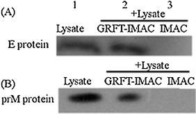 Evaluation of specific interaction of GRFT with E and prM proteins in vitro by Pull-down assay: IMAC-beads were premixed with GRFT for 2 h and incubated with the lysate of BHK-21 cells expressing E protein (A) or prM protein (B) for another 2 h (Lane 2). The IMAC beads without GRFT was also incubated with the lysate of BHK-21 cells expressing E protein (A) or prM protein (B) for 2 h (Lane 3). The beads were washed and analyzed by Western blot using anti-MYC monoclonal antibody. The E and prM proteins in the cell lysates detected with anti-MYC monoclonal antibody served as a molecular mass marker (Lane 1).