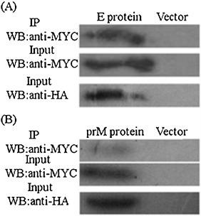 Evaluation of specific interaction of GRFT with E and prM viral proteins in vivo by co-immunoprecipitation: (A and B) BHK-21 cells were co-transfected with pcDNA3- G -HA and pcDNA3- E -MYC or pcDNA3- G -HA and pcDNA3- M -MYC using Polyethylenimine (PEI). Cells transfected with empty vector used as control. At 24 h post-transfection, co-immunoprecipitation was performed form cell lysate using anti-HA monoclonal antibody. The immunoprecipitated protein was detected with anti-MYC monoclonal antibody (first panel in A and B). Cell lysates were evaluated using anti-MYC monoclonal antibody (second panel in A and B) and anti-HA monoclonal antibody (third panel in A and B) to detect the expression of E, prM and GRFT.