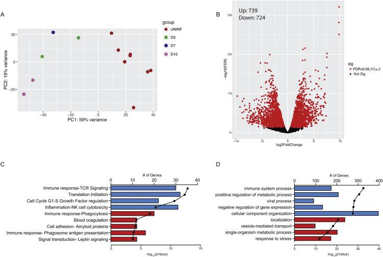 SVV infection results in robust gene expression changes in T cells . (A) PCA plot of T cell samples subjected to RNASeq. Each dot represents a CD4 or CD8 T cell sample used for RNA-Seq analysis and each color represents a timepoint. (B) Volcano plot representing overall gene expression changes observed in infected T cells. Each gene is denoted by a dot with red dots representing genes with significant difference in expression in infected compared to naive T cells (FDR p -value