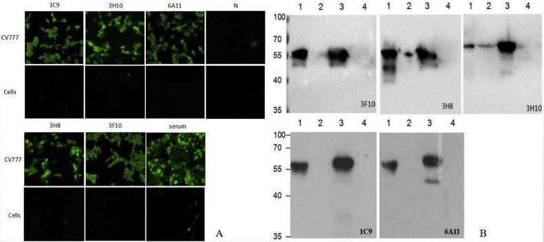 Identification of monoclonal antibodies by IFA(A) and Western-blot(B). A: After inoculated with PEDV CV777 strain, the Vero cells were fixed and analyzed by IFA with the five McAb. Non-inoculated cells were used as control. To confirm the specificity of McAb, positive serum and the RPMI-1640 containing 20 % FCS (N) were used as antibody to incubated the cells as control. The Vero cells inoculated with CV777 could reacted with the five McAb and positive serum, and showed obvious green fluorescence on the surface. The non-inoculated cells and N control showed no any fluorescence. B: The purified PEDV and N protein expressed in Baculovirus were separated by 10 % agarose gel and transferred onto a nitrocellulose (NC) membranes. After blocking, the membranes were incubated with McAb overnight at 4 °C. After 3 times washes with PBST, the membranes were incubated with HRP-labeled Goat Anti-Mouse IgG (H + L) antibody. The reaction was visualized by using ECL Western blot substrate. Vero cells and Sf9 cells were used as control. Line 1: Purified PEDV; Line 2: Vero cell control; Line 3: N protein expressed in Baculovirus; Line 4: Sf9 cell control.