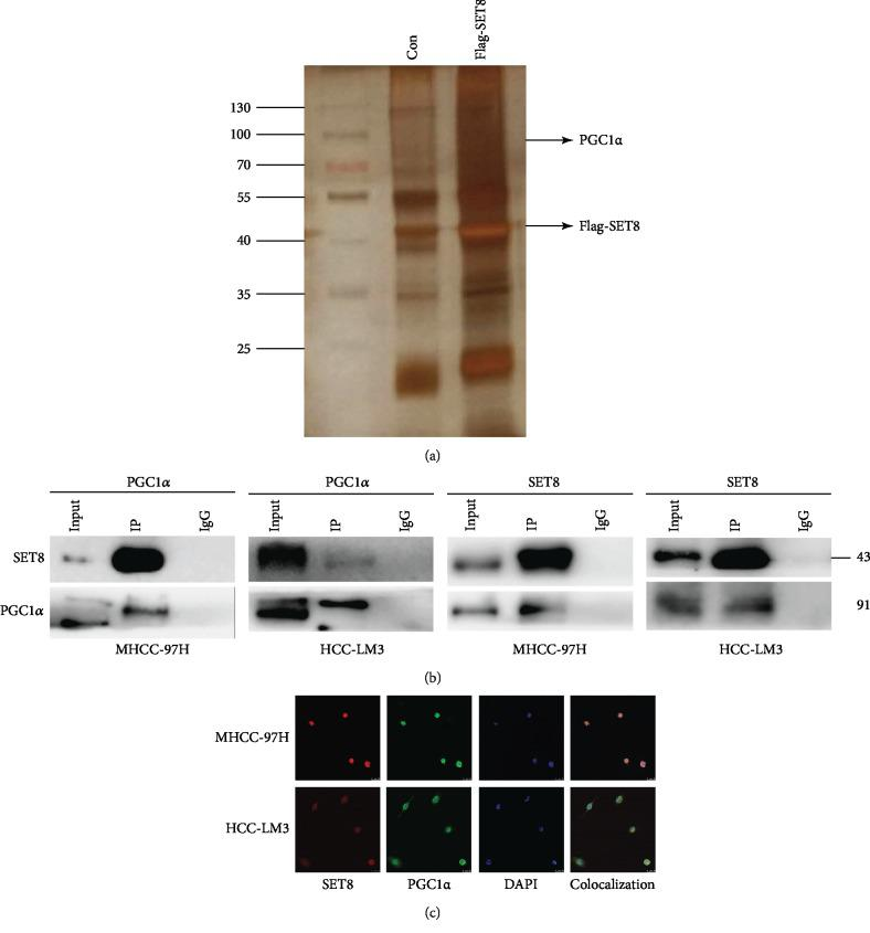 SET8 interacts with <t>PGC1.</t> (a) Mass spectrometry was used to analyse protein bands in the purified SET8 complex. (b) Interaction between SET8 and PGC1 α in HCC cells was measured by immunoprecipitation. (c) Colocalization of SET8 and PGC1 α in HCC cells as detected by confocal microscopy.